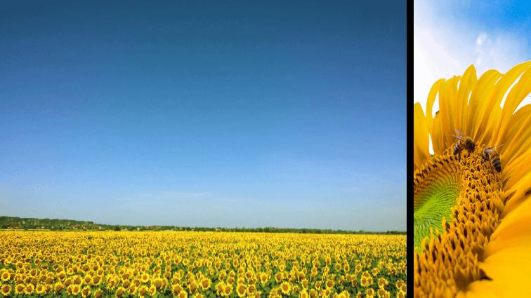 landschap en close-up zonnebloemen