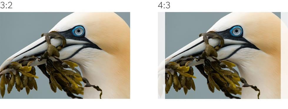 Het verschil tussen een 3:2 en een 4:3 verhouding. Foto: Gustav Kiburg een vogel met zeewier in zijn bek